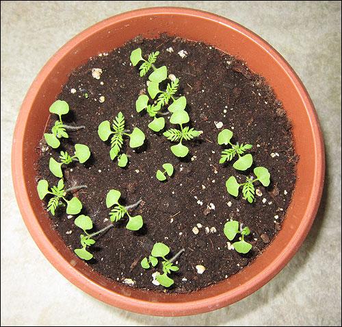 Семена лаванды в домашних условиях 561